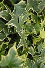 Golden Ripple Hedera Ivy Starter Houseplant