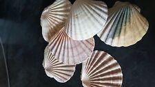 Shells - 30 Large Shells for Tank Decoration
