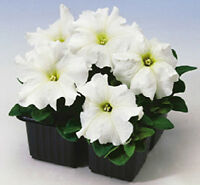 50 Pelleted Petunia Seeds Limbo White Petunia Seeds