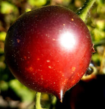 """TOMATE """"indigo rose"""" schwarze Früchte, sehr würzig,lecker, ähnlich black russian"""