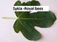 Sykia -Royal bees -fig tree- Greek variety-5 cuttings-rare plant