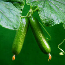 Cucumber Seeds Mini Gherkin 1250 Tablets Sweet Crisp Vegetable Fruit Seed Garden