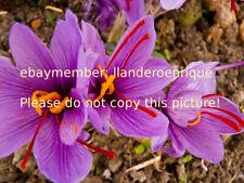 6 bulbos azafran - crocus sativus origen España
