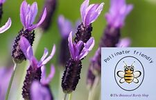 Lavandula stoechas (French Lavender) Hardy & Fragrant - 25 Rare viable seeds