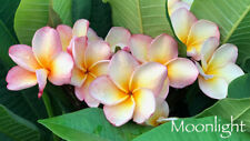 Moonlight Compact Plumeria large triple tip plant