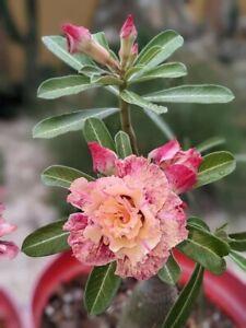 Adenium Obesum  Plant  Desert Rose Plant USA Seller