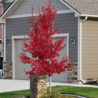Drummond Red Maple (Acer drummondii) 50+ seeds, Beautiful Color, FREE SHIP