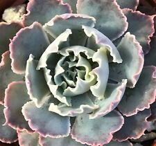 "Echeveria Shaviana 'Mexican Hens And Chicks' - 2 1/4"" Pot $4.24 +Shipping"