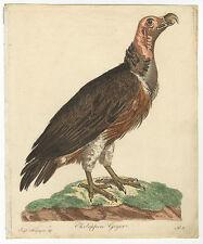 Ohrengeier/Ohrlappen Geyer. - Altkol. Kupferradierung, ca. 1800