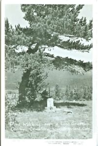 Nederland CO Pine Watching over a Lone Grave, Caribou Cemetery RPPC M-1710