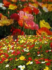 Iceland Poppy 500 Seeds (Papaver nudicaule)