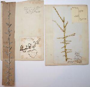 Richard Suter (1797–1883). Botanical illustrations Blackthorn, Gooseberry etc..