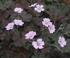 GERANIUM 'Dusky Rose' - Hardy Perennial Plant - ex 9cm Pot