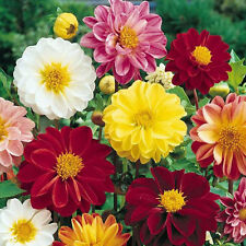 FLOWER DAHLIA UNWINS DWARF MIX 250 FINEST SEEDS