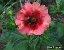 50 Nepal CINQUEFOIL / POTENTILLA Nepalensis Pink Red Flower Seeds *Comb S/H