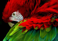 STUNNING MACAW PARROT CANVAS #6 QUALITY RED PARROT A1 CANVAS PICTURE WALL ART