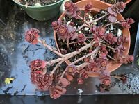 "Sedum  ""dragons blood"" in 4"" pot rare deep red burgandy color ground cover"