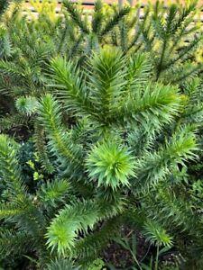 Chilenische Schmucktanne Andentanne Affenbaum Araucaria 65 cm