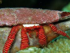 'Aqm' Halloween Hermit Crab, Cleaners, Fish, Marine, Scarlet ,Emeralds