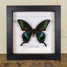 Alpine Black Swallowtail Summer Form (Papilio maackii summer form)
