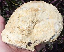 Nice Un prepped Alabama Hercoglossa Ulrichi Nautilus Paleocene