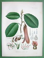 KERUING Dipterocarpus Retusus Tree Flowers - SUPERB Botanical Print Color