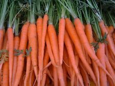 3,000 Tendersweet carrot seeds. HEIRLOOM. SAME DAY SHIPPING