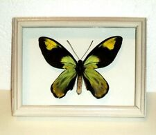 Ornithoptera victoriae victoriae male in frame of real wood !