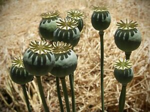 10,000+++ Papaver S ,Tazzy poppy seed fresh 2021 stunning flowers