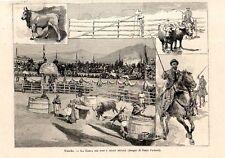 Stampa antica VITERBO Corsa dei Tori e delle Bufale 1891 Old print