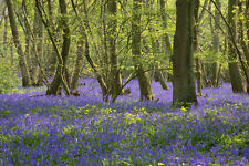 ENGLISH BLUEBELLS Blue Forest's Blue Bells Hyacinthoides non-scripta  1000 seeds