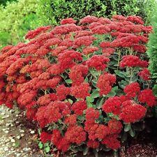 50+ Sedum Cherry Red Summer Glory Flower Seeds / Perennial