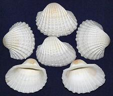 """Andara Granosa~Ribbed Ark Shells~1-1/2""""-2""""~Clam,Coc kle,Scallop,Pecten (20) Pcs."""