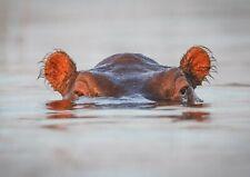 A1 Hippopotamus Poster Art Print 60 x 90cm 180gsm Wild Animal Africa Gift #15643