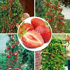 100PCS Red Climbing Strawberry Seeds Garden Fruit Plant Sweet Delicious Outdoor