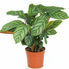 Calathea Compact Star Indoor Potted Plant for Home or Office