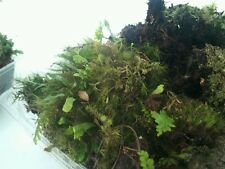*Bonsai / Terrarium Moss 500gm Fresh Tasmanian Forest Moss*
