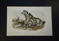 John James Audubon. Esquimaux Dog. No 23. Plate 113. Quadrupeds of North America