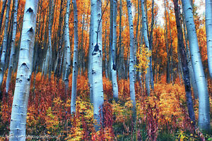 Colorful Aspens - Fall Landscape Photograph Outdoor Nature Wall Art Poster Print
