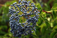 Blue Elder - Sambucus Caerulea - 50 seeds - Berries - Shrub - Hedging