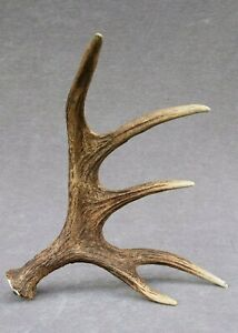 NATURALLY SHED WILD MOOSE ANTLER (HORN, KNIFE, CARVING, CHEW, TAXIDERMY)