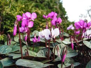 Hardy Cyclamen coum.  Winter flowering perennial. 2021 seeds