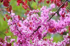 20 Cercis Canadensis Eastern Redbud Tree Fresh Seeds