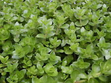 Bacopa amplexicaulis Water Hyssop easy aquarium plants  5 stems
