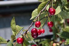 10 Wild Cherry Trees 2-3ft Stunning Blossom, Edible Cherries & Wild Bird Food
