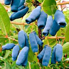 200 Lonicera Caerulea Seeds Honeysuckles Useful Organic for Health Plants Garden