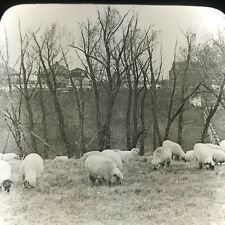 Vtg Magic Lantern Glass Slide Photo Keystone Sheep Grazing In Iowa Farm Ames