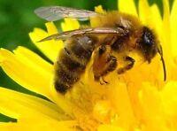 700+ DANDELION SEEDS Taraxacum Officinale Open-Pollinated NON-GMO Heirloom USA