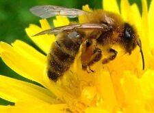 1000+ DANDELION SEEDS MICRO-GREENS VEGETABLE HERB SALADS NON-GMO HEIRLOOM BEES