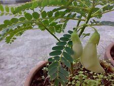 White Humming Bird Sesbania grandiflora Fresh 10 Seed